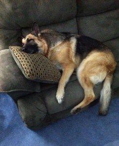 Just taking a short nap. Don't you dare waking me up!  #german_shepherd #dog