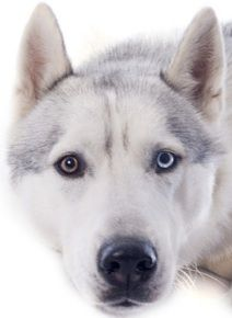 Siberian Husky Eye Colors All About The Different Types Husky