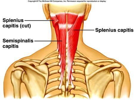 splenius+capitis+muscle+images | splenius capitis semispinalis, Human Body