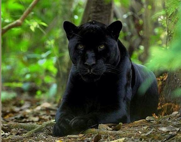Totem black Jaguar/panther