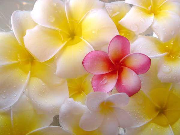 画像をクリックするとウィンドウを閉じます プルメリアの花 美しい花 きれいな花