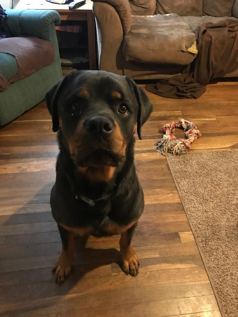 Adopt Max On Rottweiler Dog Dogs Rottweiler