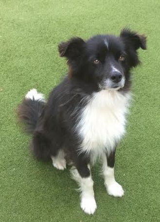 Matty – 3 year old male Collie cross Cavalier King Charles