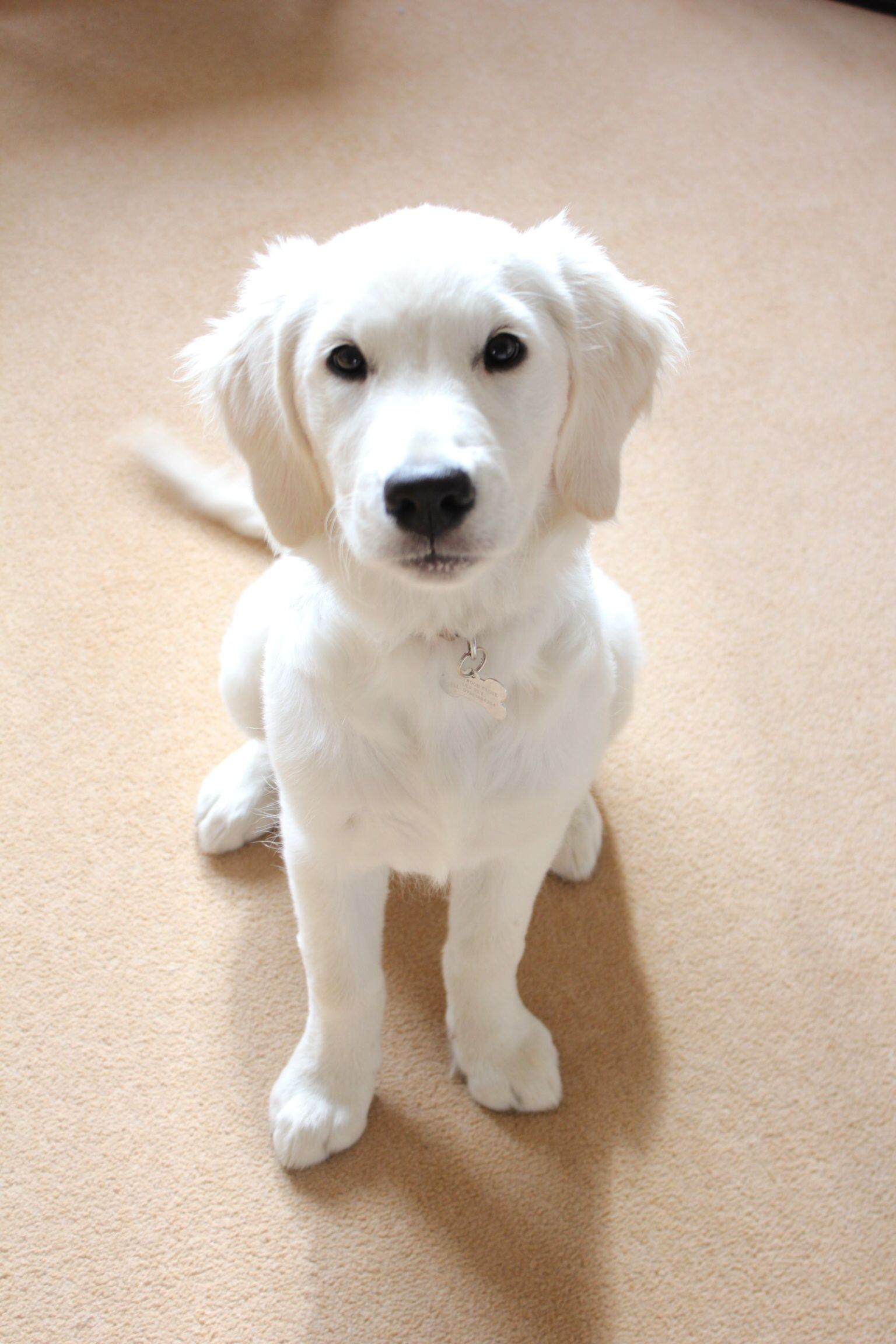 Beautiful 17 Week Old Golden Retriever Puppy English Cream And