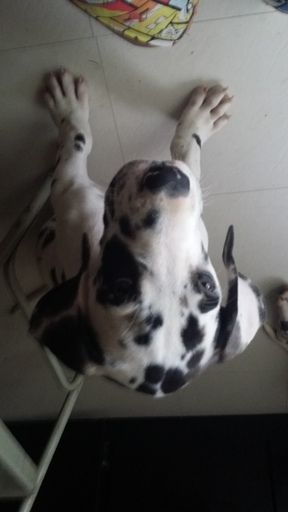 Great Dane Puppy For Sale In Saint Louis Mo Adn 36424 On