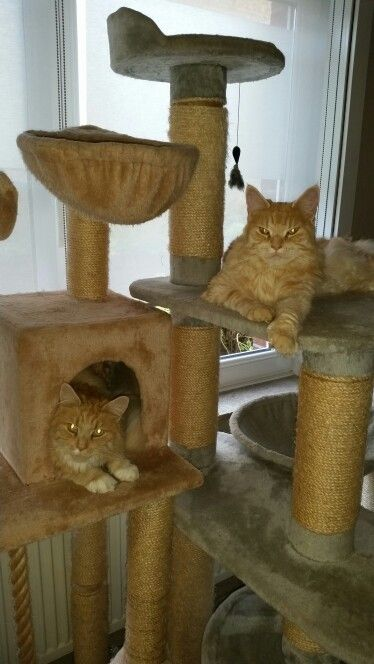 My Maine Coons