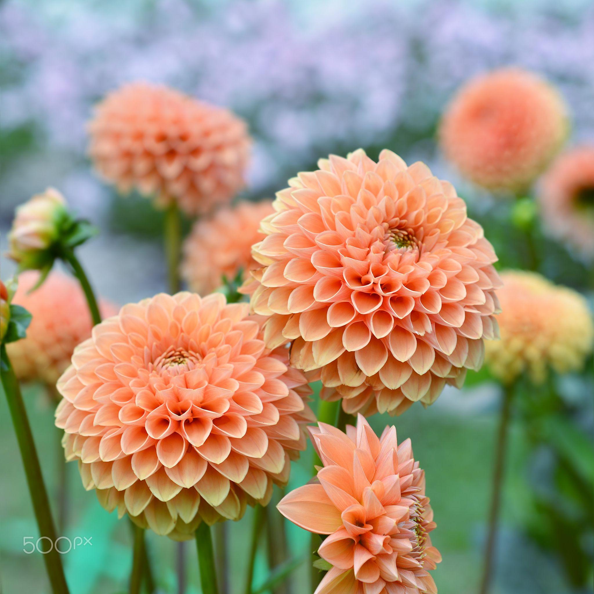 Flowers Orange Dahlia Null Delightful Dahlias Pinterest