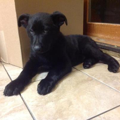 My 9 Week Old Solid Black German Shepherd Named Blitzen 3
