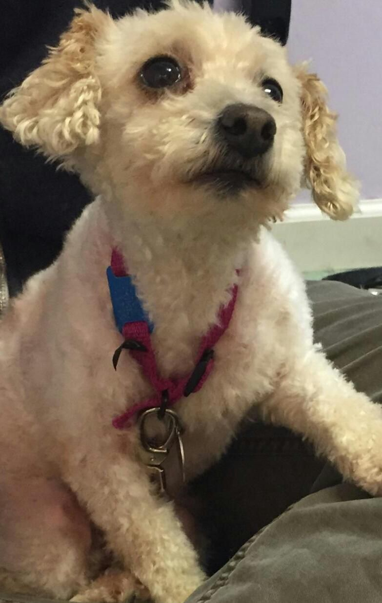 Adopt Beauty On Petfinder Beautiful Dogs Dog Adoption Poodle