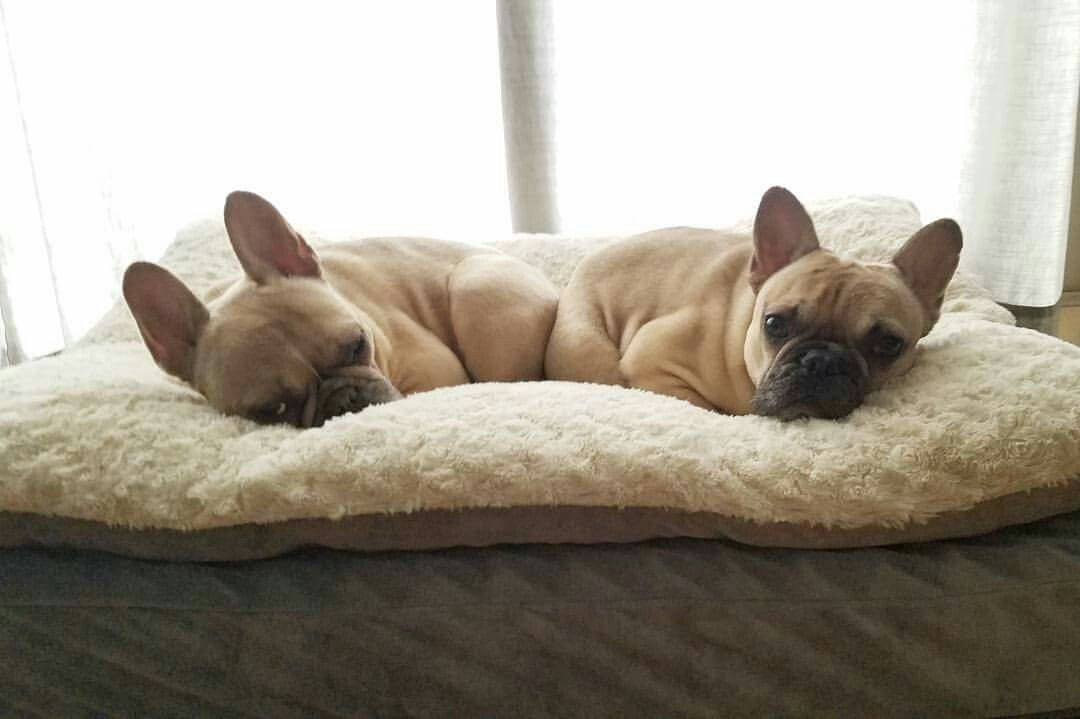 ❤❤ French Bulldog Puppies ❤️