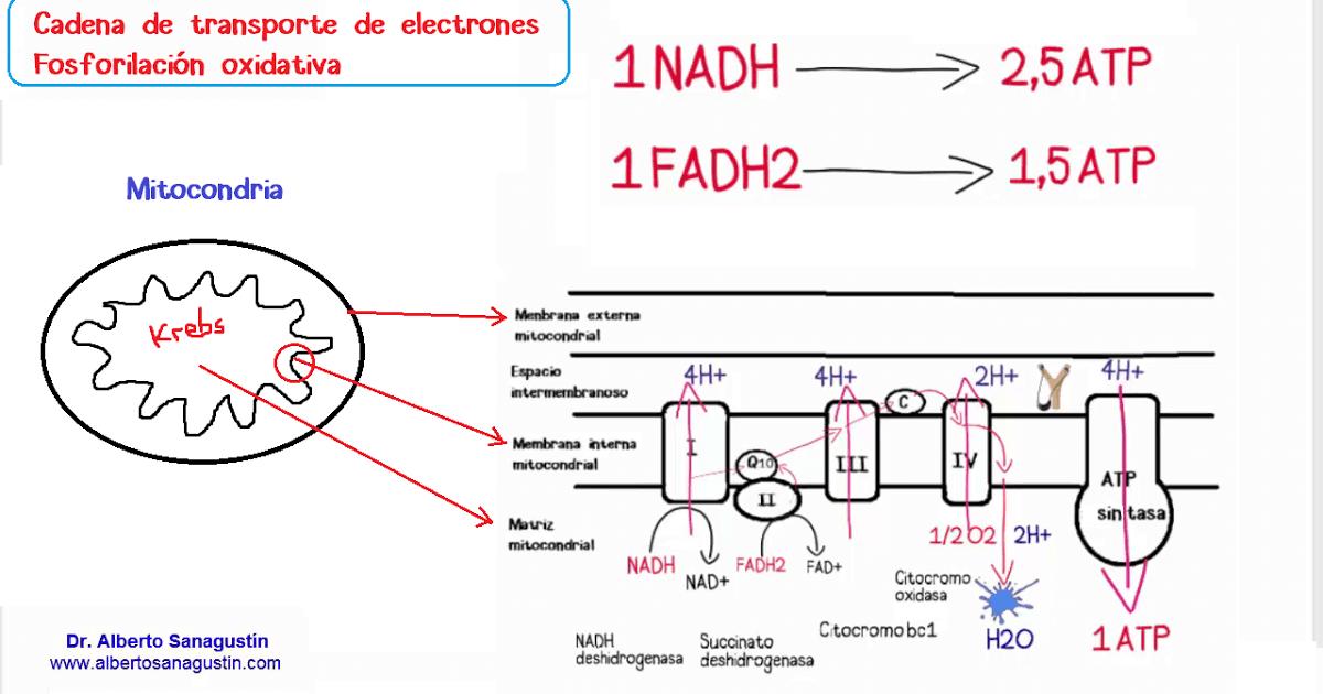 Cadena De Transporte De Electrones Y Fosforilación Oxidativa
