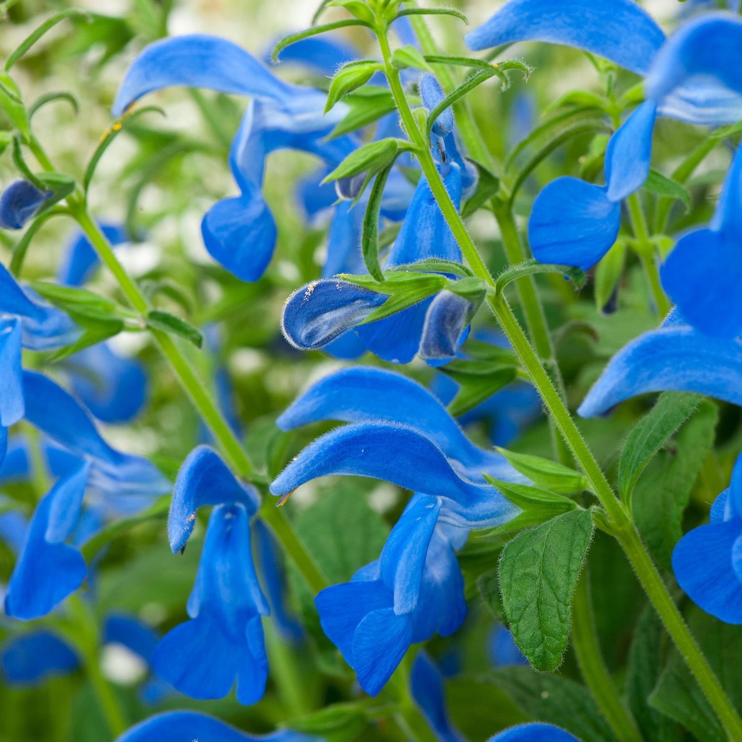 Salvia patio deep blue google search garden inspiration a vigorous well branched ornamental sage thats easy to grow blooms all summer and is heat tolerant the bushy clump forming plants are well branched izmirmasajfo Gallery