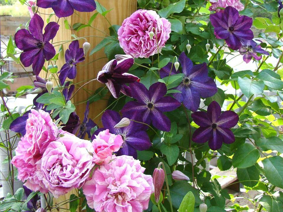 Raspberry Cream Twirl Climbing Rose and Twilight Veil