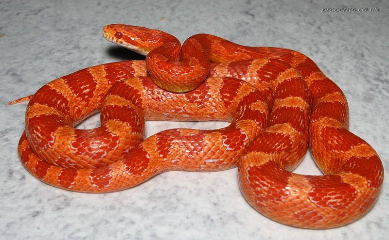 Fluorescent Orange Corn Snake Bright Orange/Red Amel...