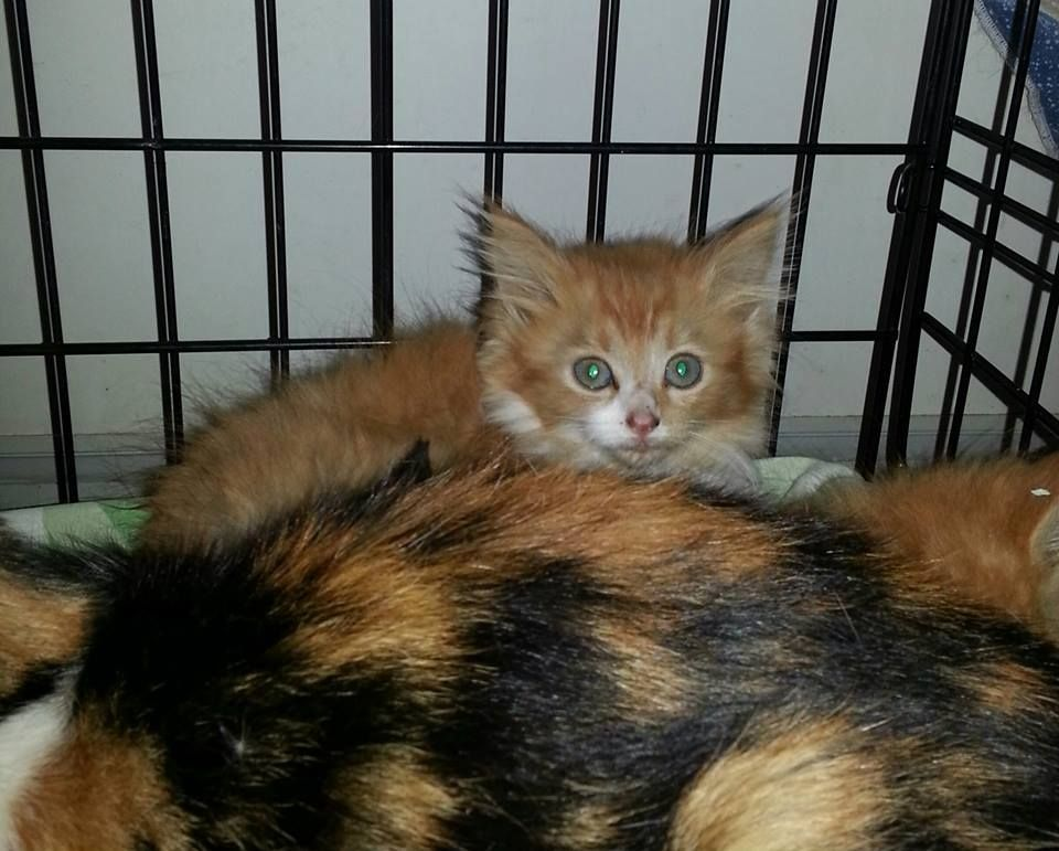 This cute litter and calico mum from Devon are hoping to find a loving forever home! There are two longhaired red and white girls that are identical (seen here), and a shorthaired red male, and a black-and-white male. The babies are about 7 weeks old. The calico mum may be too wild to tame and will be sterilised and re-released, but it's also possible she will adapt well to her new rescued life and become adoptable as well.  www.facebook.com/cause4paws