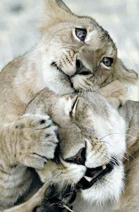 Pin Von Olga Dugina Auf Cubs Tiere Tiere Und Haustiere Wilde Katzen
