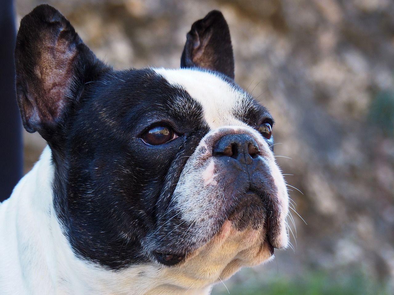 French bulldog bulldog breeds training your dog lap dogs