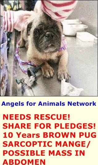 Needs Rescue Share For Pledges A1389371 F 10 Years Brown Pug 5
