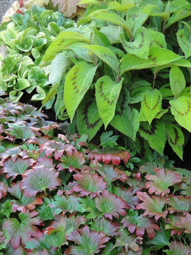 Ahornblatt Staude Karasuba Garten Feucht Boden Pflanzen Mix