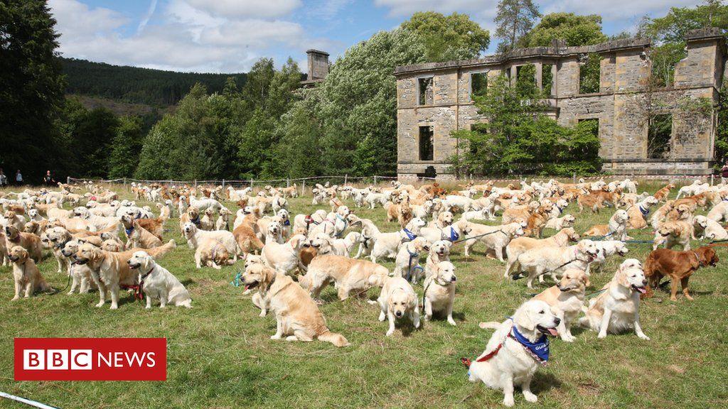 Woof Mass Gathering Of Golden Retrievers Bulldog Breeds Tweed