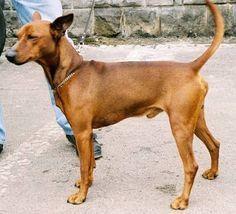 1eed767dfd4ea6f3519ec7694a3f0fef Miniature Pinscher Dog Breeds Jpg 236 214 German Dog Breeds German Pinscher Dogs Hugging