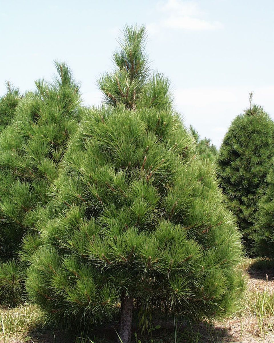 Red Red Pine Christmas Tree: Types Of Christmas