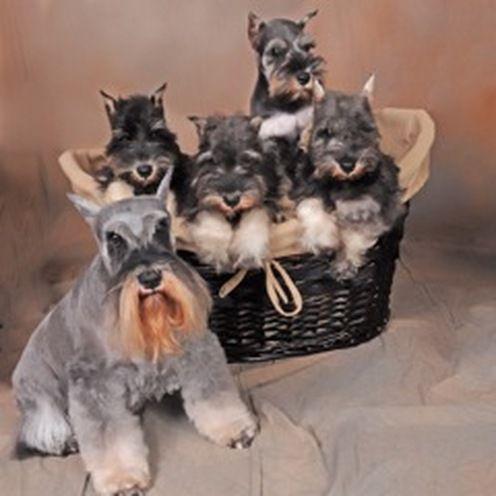 Choosing A Miniature Schnauzer Puppy That S Right For You Schnauzer Puppy Miniature Schnauzer Schnauzer