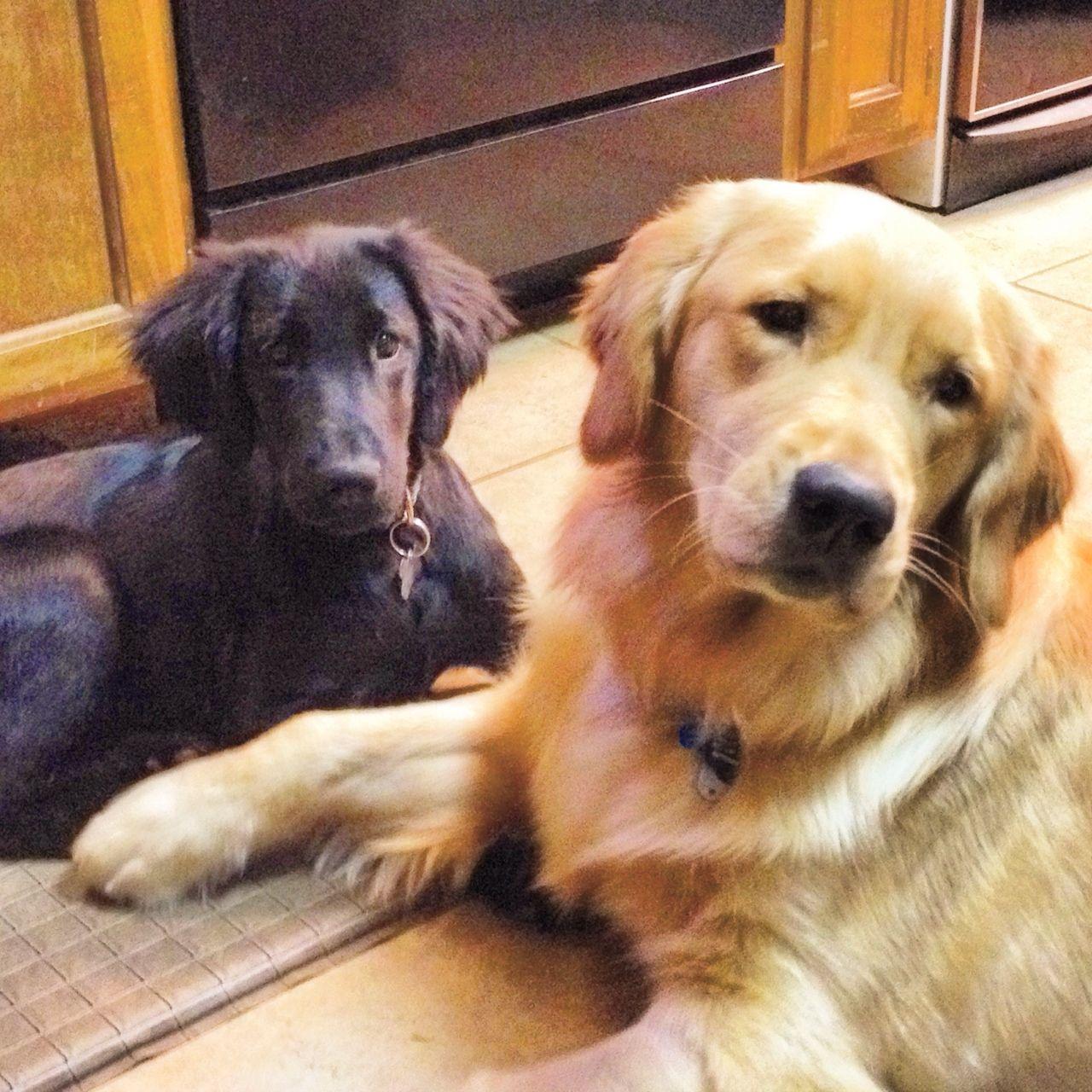 Golden And Friend Best Dogs For Families Golden Retriever