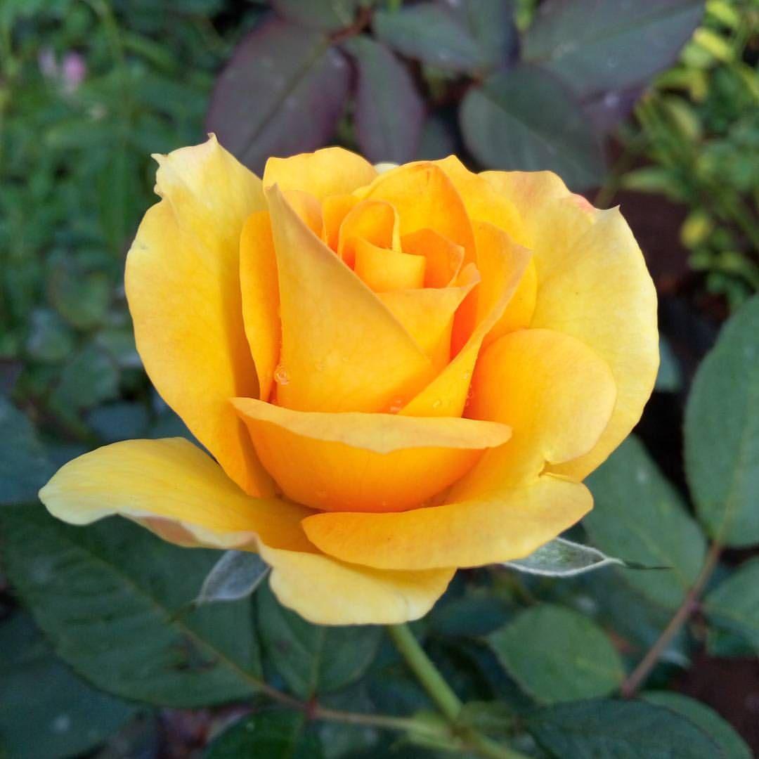 Good Morning India Instagram Nature Flowers Rose Instaflowers Roses Flowers Beautiful Flowers Magical Garden