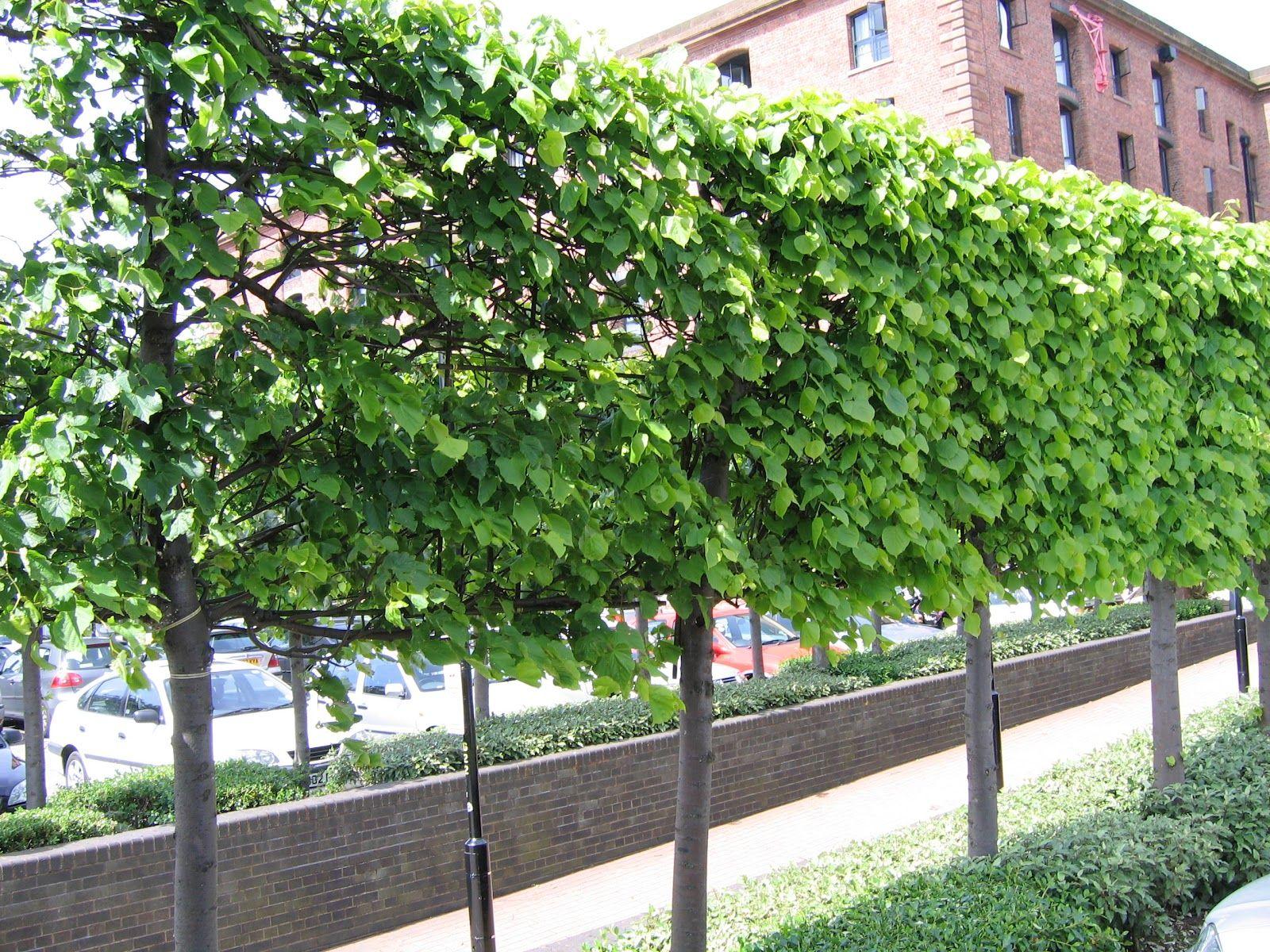 Pleached Pear Tree Garden Trees Hedges Tree