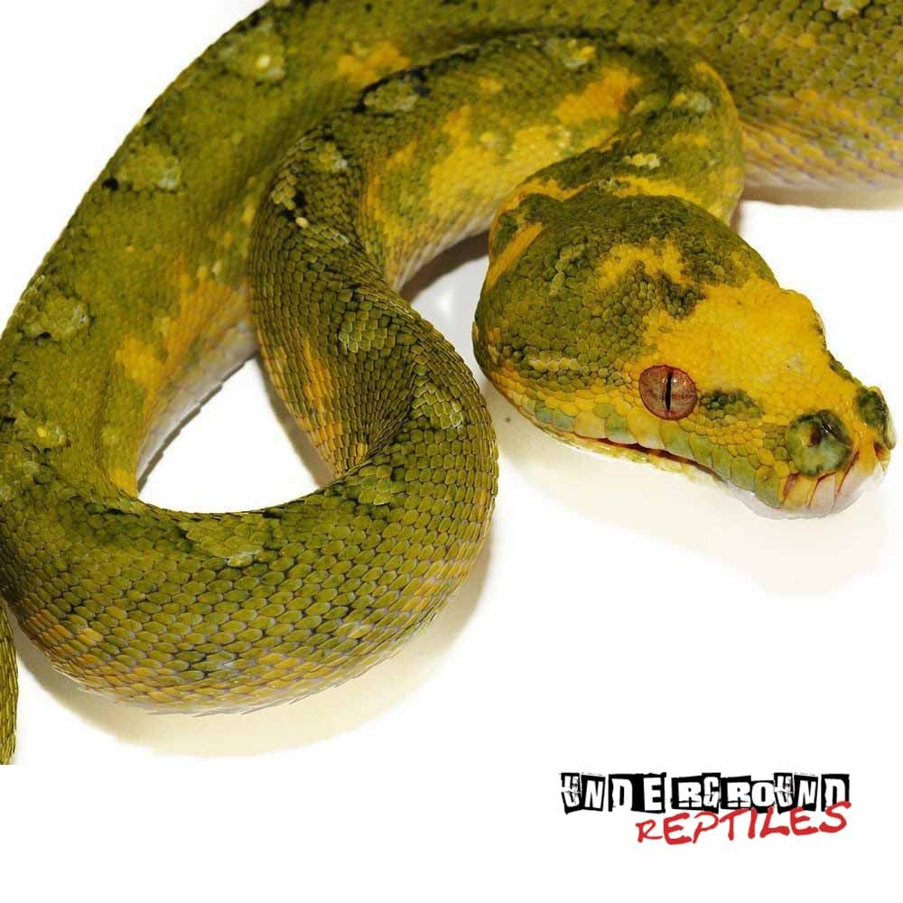 Yearling Biak Green Tree Python
