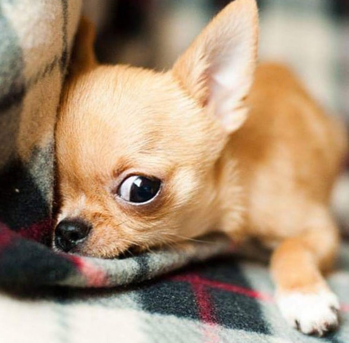 Cute Chihuahua Cutechihuahua Chihuahua Dogs Toy Dog Breeds Kittens And Puppies