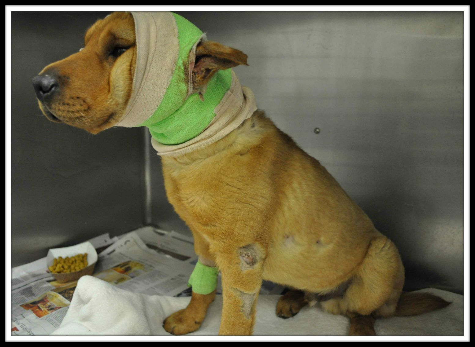 Meet Fozie This Five Month Old Sharpei Mix Was Rushed To The