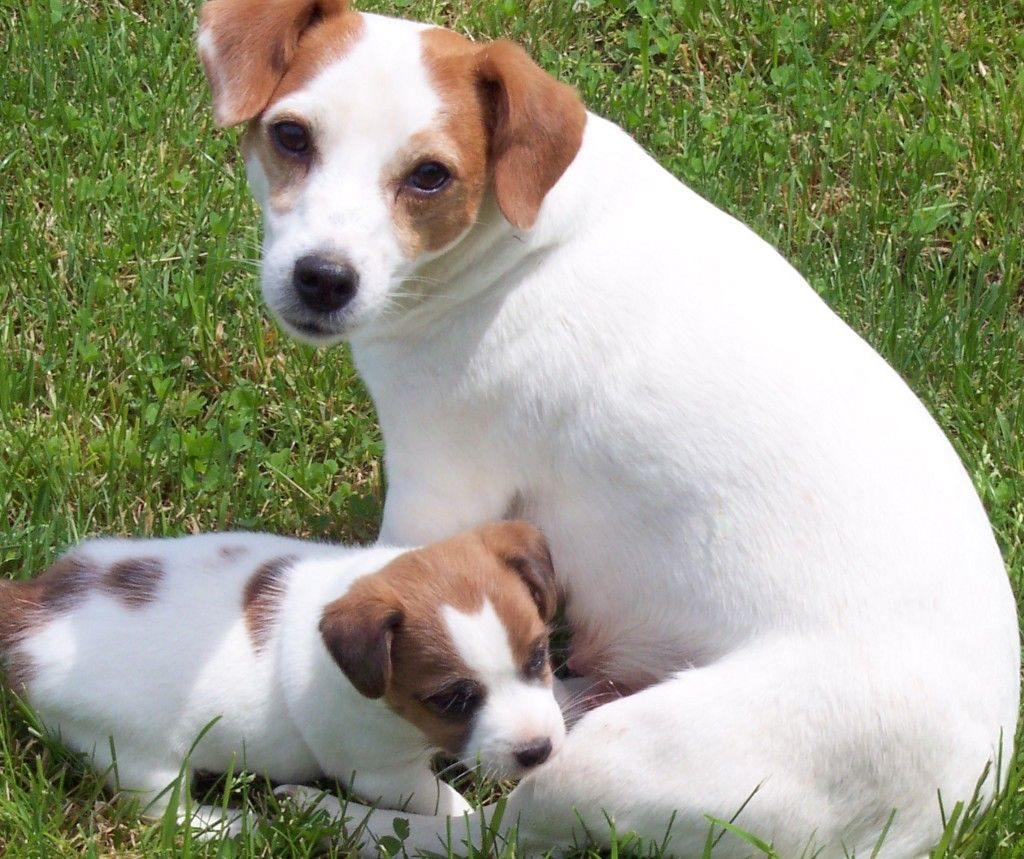 Short Hair Short Jack Russell Terrier Puppies Photos