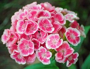 By Julie Christensen Sweet William Flowers Dianthus Barbatus Are An Old Favorite Beloved For Clusters O Sweet William Flowers Sweet William Dianthus Flowers
