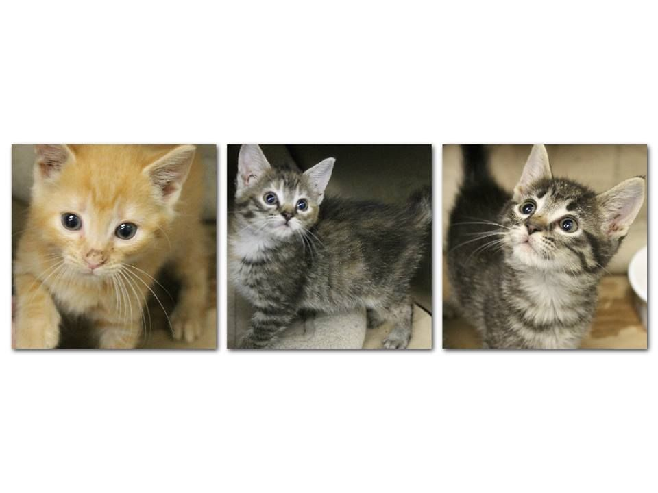 Intake: 5/29 Available: Now  NAME: Swirl, Sherbert, & Brownie  ANIMAL ID: 27965282-5981-5354 BREED: DMH  SEX: 2 female 1 male  EST. AGE: 6 weeks  Est Weight: 1.1-1.14 lbs  Health:  Temperament: Friendly  ADDITIONAL INFO: Have been in foster to gain weight!  RESCUE PULL FEE: FREE!!