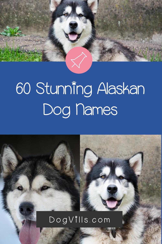 60 Stunning Alaskan Dog Names For Male Female Pups Dogvills In 2020 Dog Names Alaskan Dog Female Pet Names