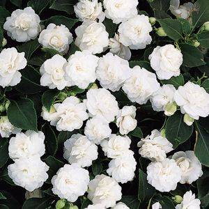 Rocapulco double white impatiens- like lining your pathways with led lights. Just dont put them in a straight line randomly stagger and mix in some other textures for a more natural look