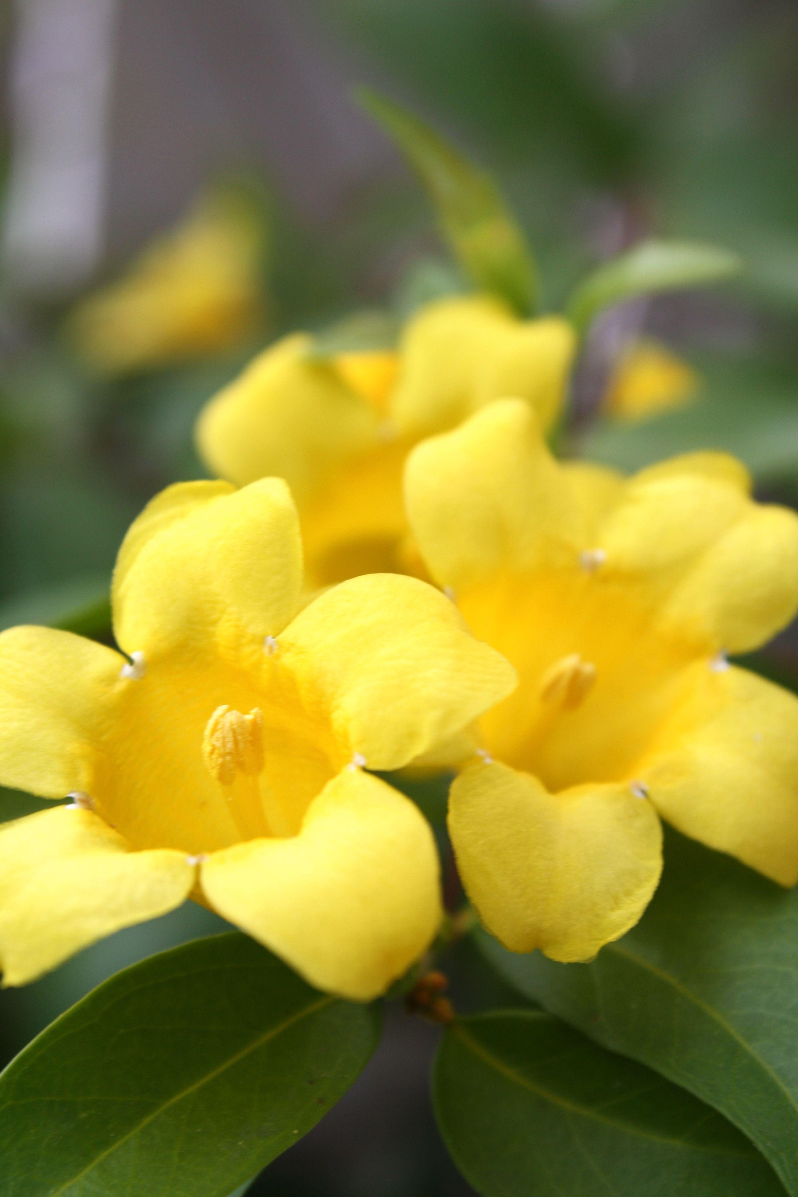 Confederate jasmine is a very small flower that grows on a vine it confederate jasmine is a very small flower that grows on a vine it is beautiful izmirmasajfo