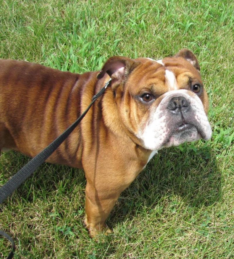Adopt Danzig on Petfinder English bulldog dog, Dog