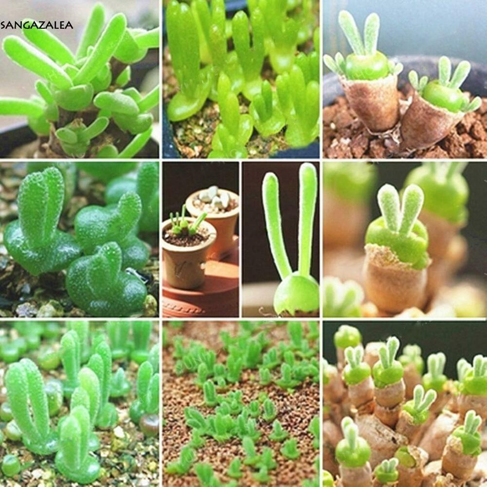 100 seeds new mini succulent plants rabbit shape seeds