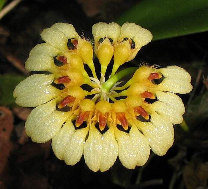 Bulbophyllum auratum 'other world'