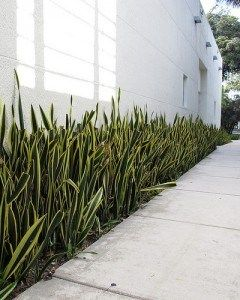 How To Care For A Snake Plant Plants Sansevieria Trifasciata