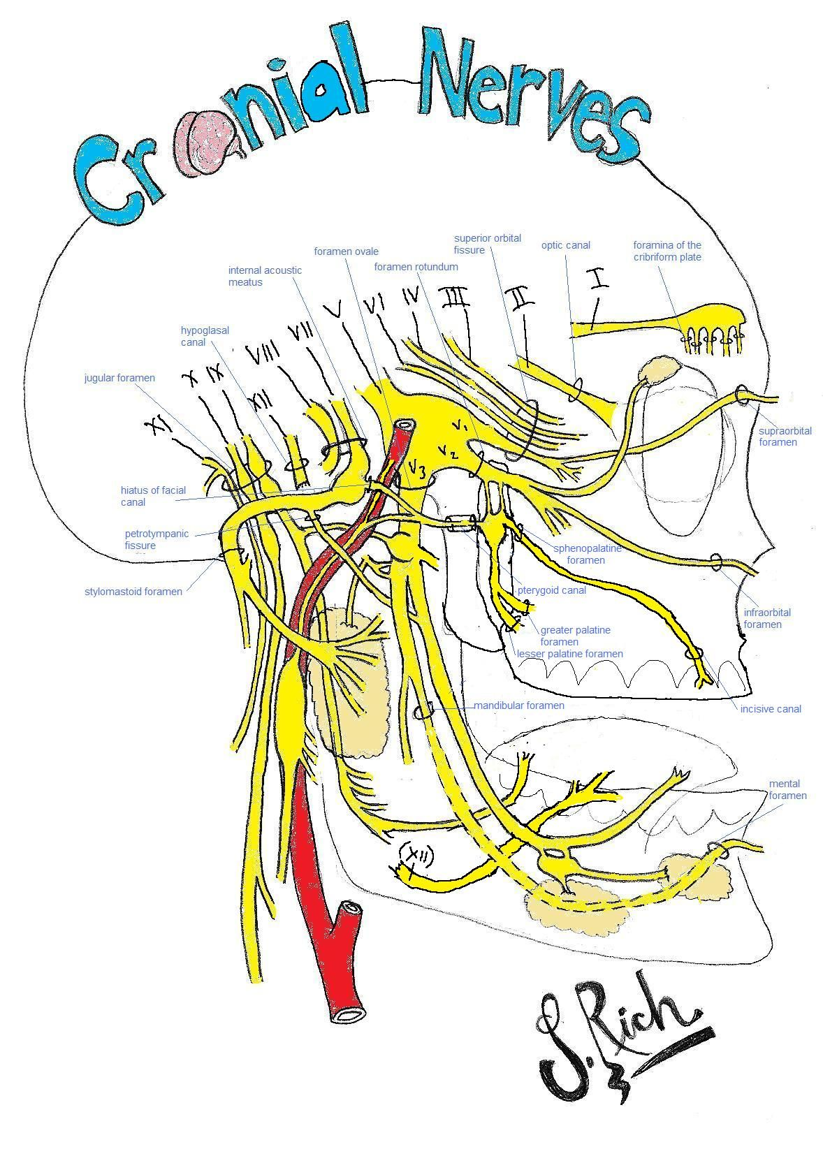 Foramina Of The Facial Nerves Yahoo Image Search Results Study