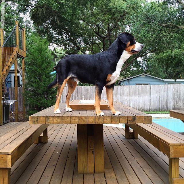 11 things Greater Swiss Mountain Dogs are greater than.