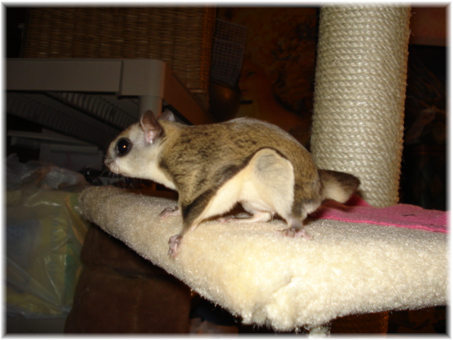 These Gentle Tiny Squirrels Are True Pocket Pets Flying Squirrels Form A Deep Bond With Their Human Owner And Flying Squirrel Flying Squirrel Pet Squirrel