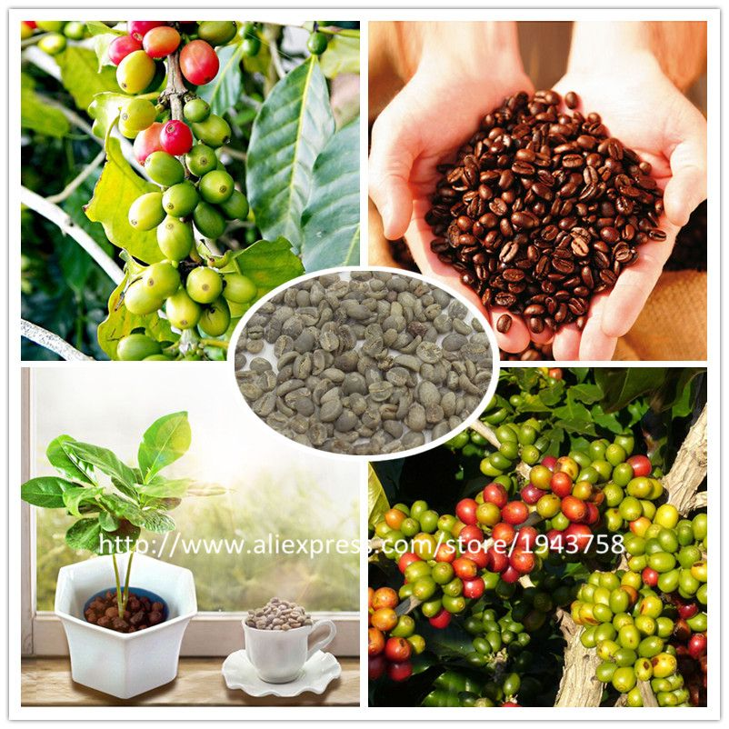 A Pack 20 Pcs Coffee Bean Seeds Balcony Bonsai Tree Plant Seed Coffee Cherry Seeds Small Black Coffee Cherry Seeds Trees To Plant Bean Seeds