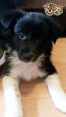 6 Stunning Border Collie Pups Border Collie Puppies Collie