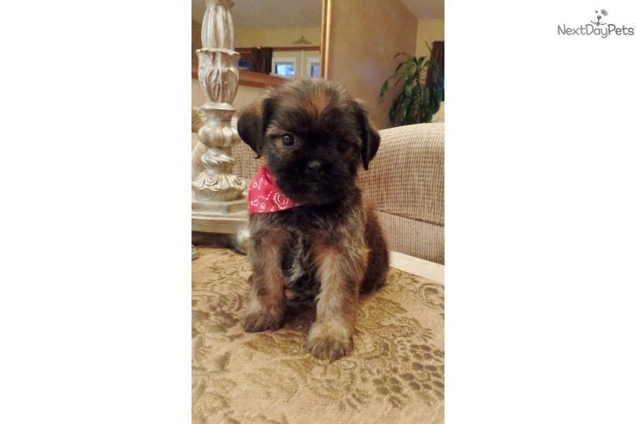 Jeramiah Darling Shiffon Brussels Griffon Puppy For Sale Near
