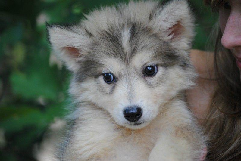 Tamaskan Oh That Face Tamaskan Puppies Tamaskan Dog Puppies